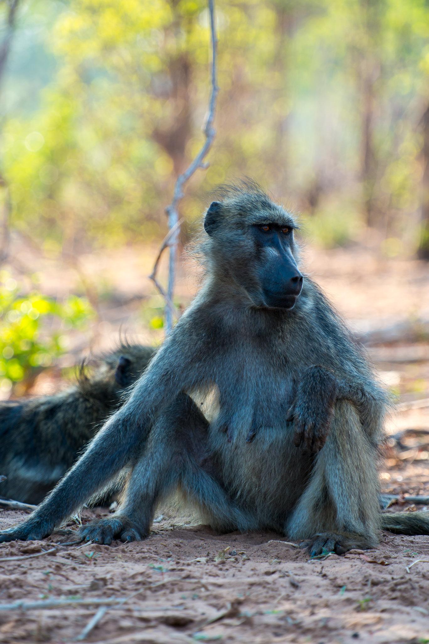 Baboon, Chobe Riverfront