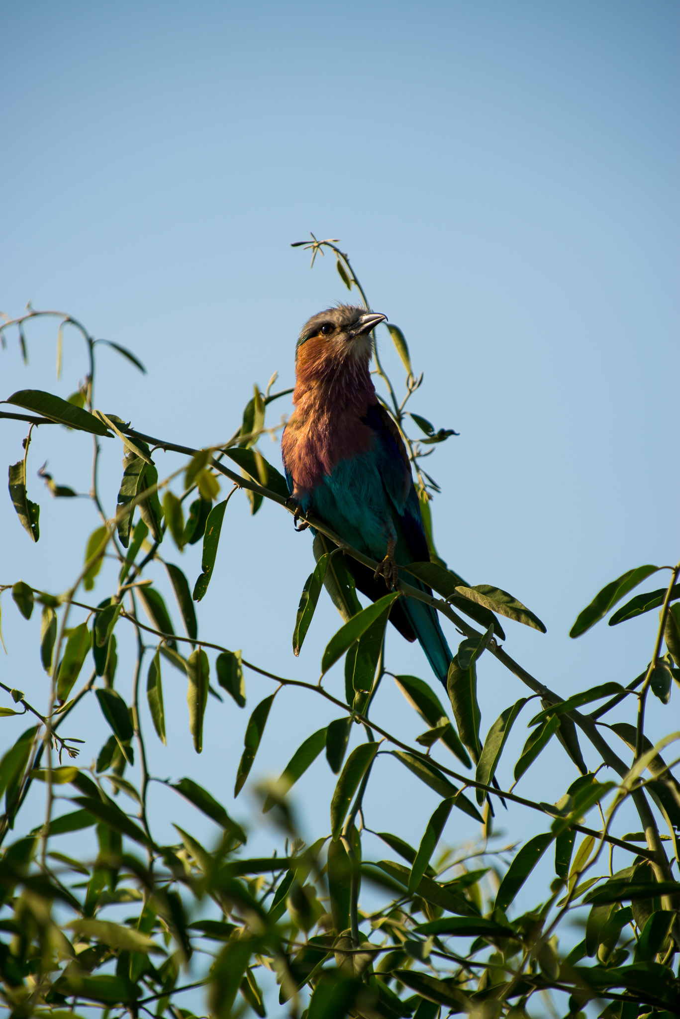 Lilac Brested Roller, Chobe Riverfront