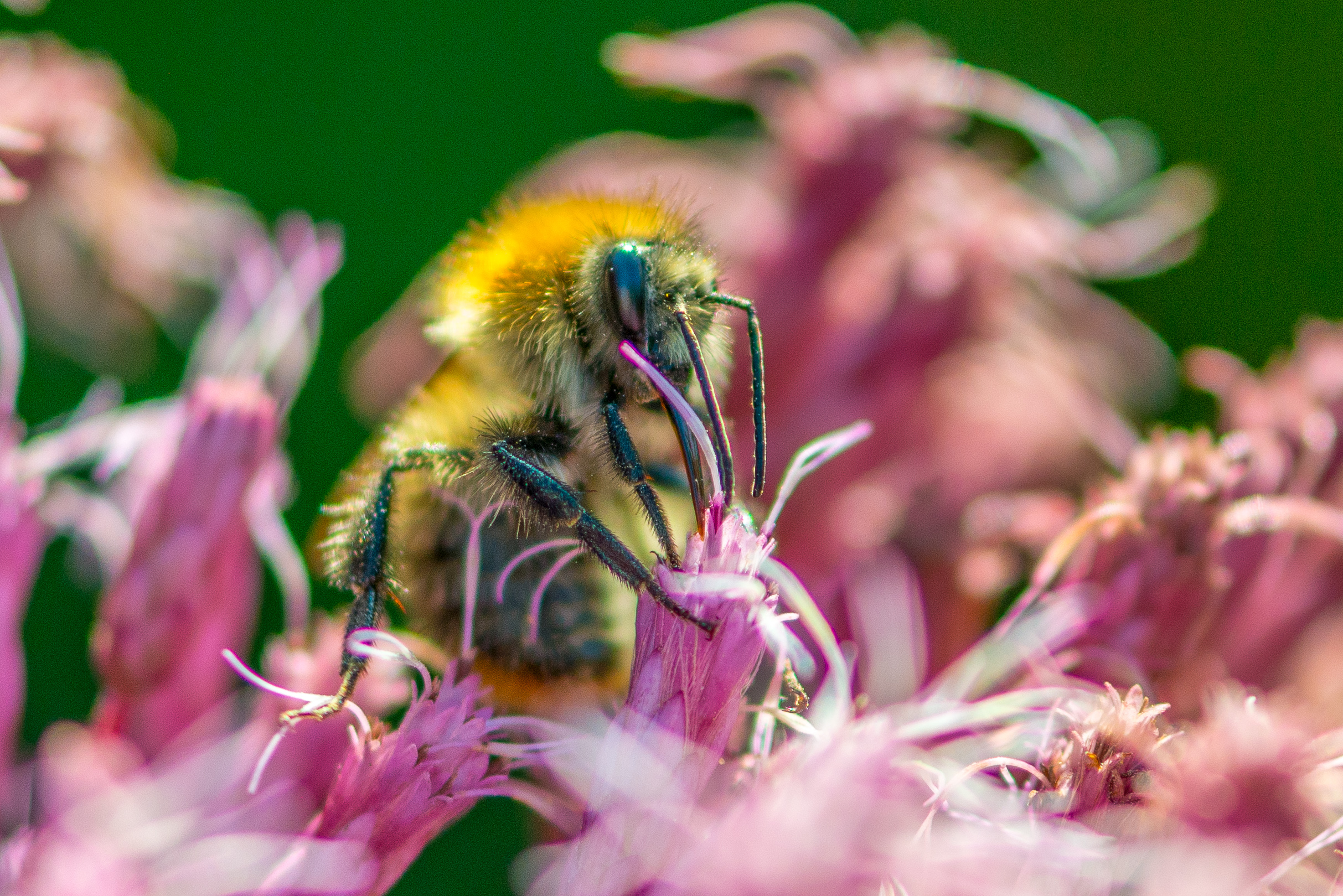 Bumblebee, maybe a Brown-banded carder bee