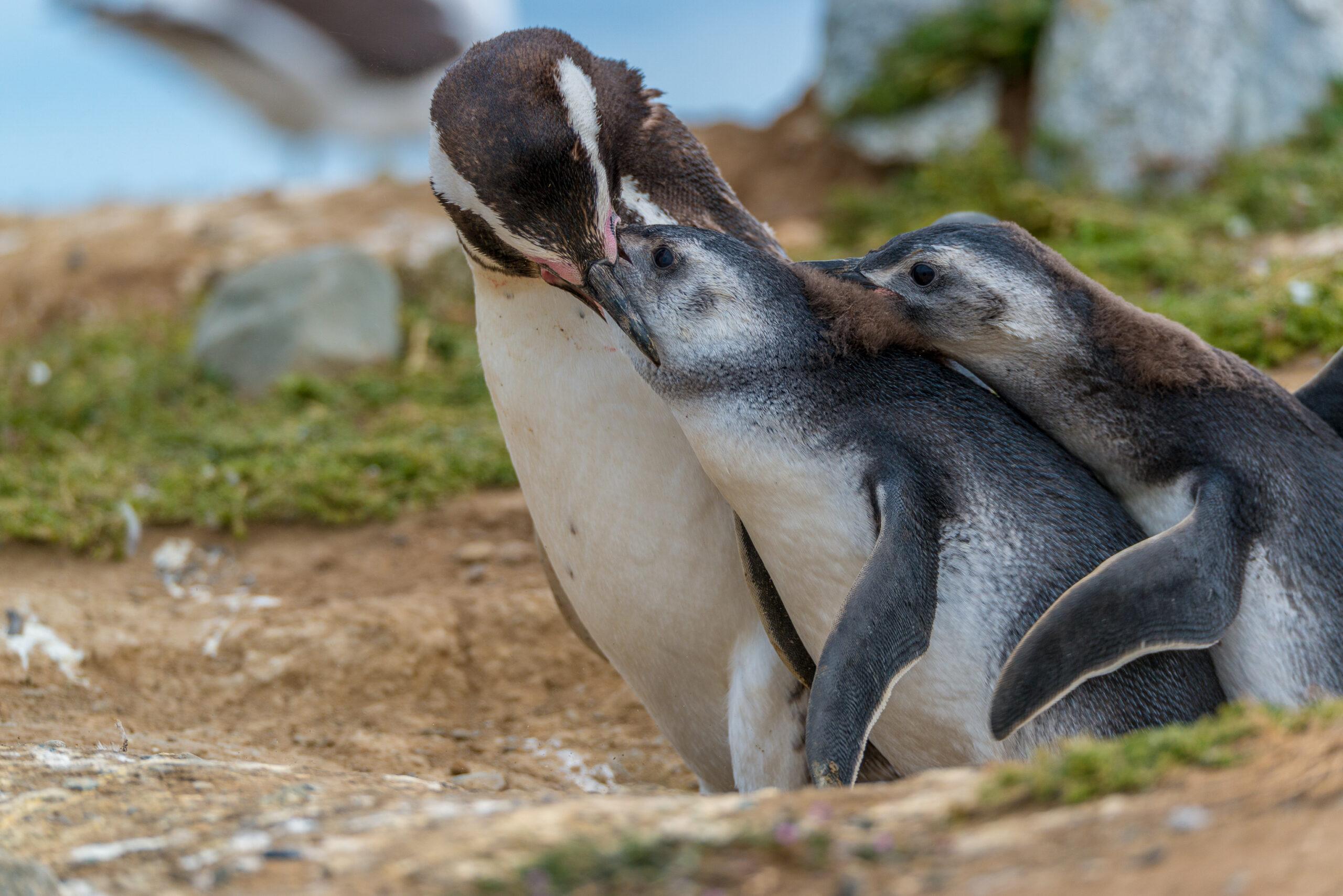 Magellanic penguin, Isla Magdalena, Chile